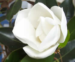 The Magnolia Received By Far Largest Majority On April 1 1938 Mississippi Legislature Officially Designated As State Tree
